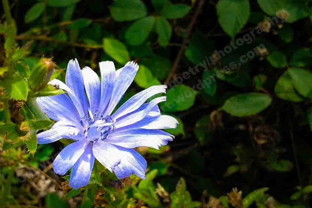 The image depicts a photograph titled Purple Star  by the photographer Goff James. The work is a colour photo of a single purple and white flower with its petals radiating outwards like a star against a dark green background of green leaves..