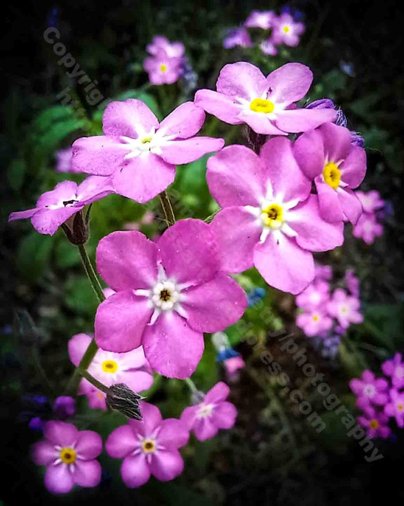 The image shows a close up photograph of a small cluster of pink forget-me-not flower heads on a black background.