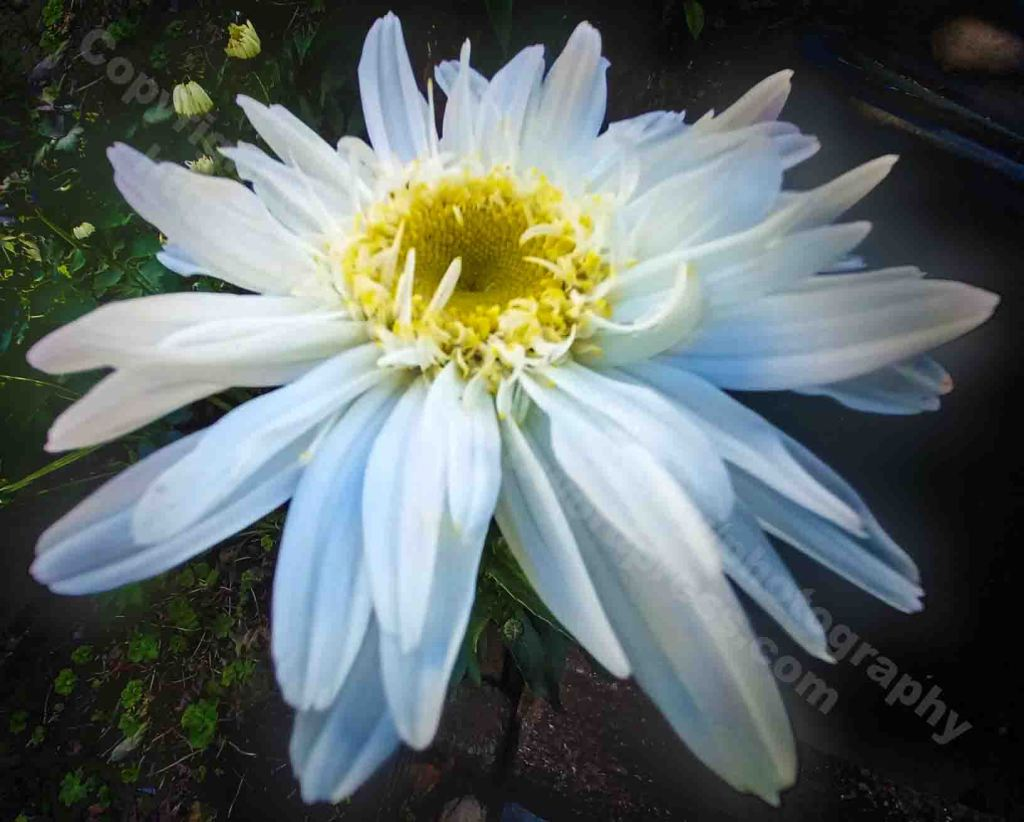 The image is a close up photograph of a large white daisy open flowerhead. Radiating outwards from the yellow centre the petals are imbued with contrasting subtle hues of whites and blues.