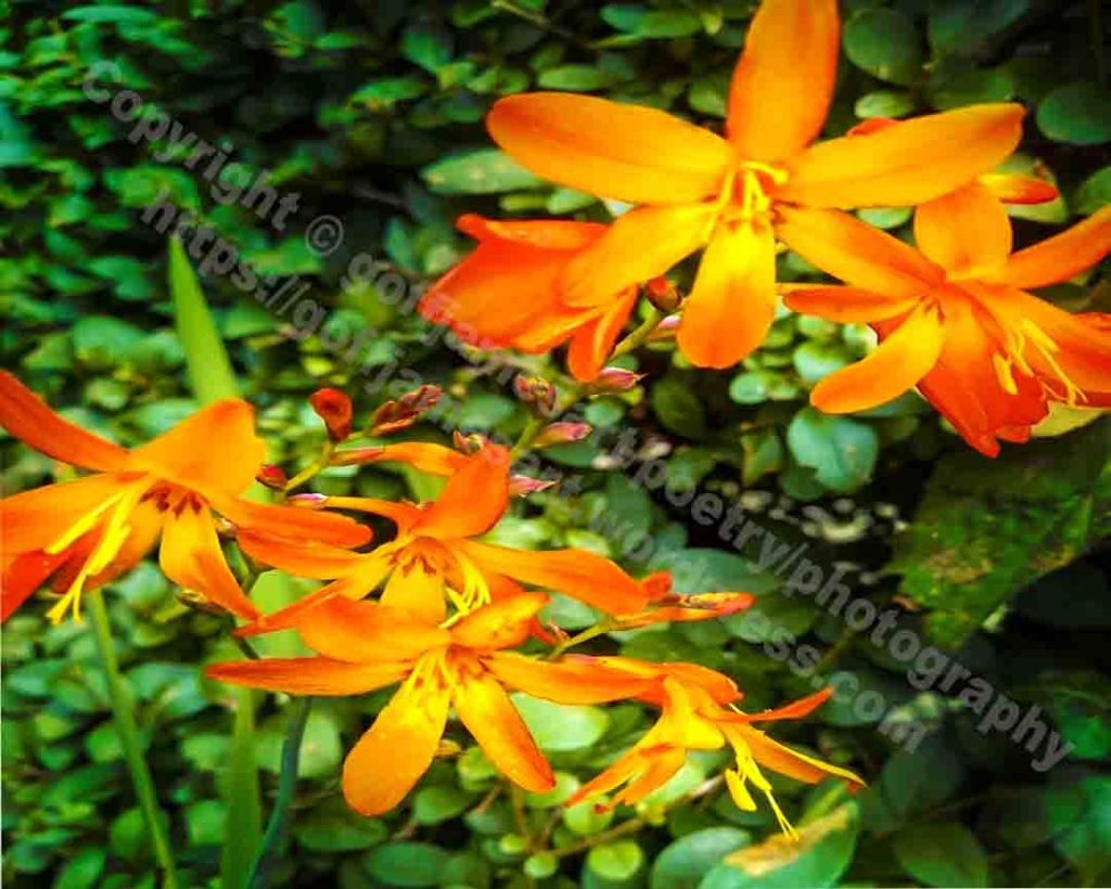 The image titled Orange Sparkle is a photograph of orange crocosmia flower heads sparkling in the morning sun. The flowers are set a green hedge of small leaved shrubs.