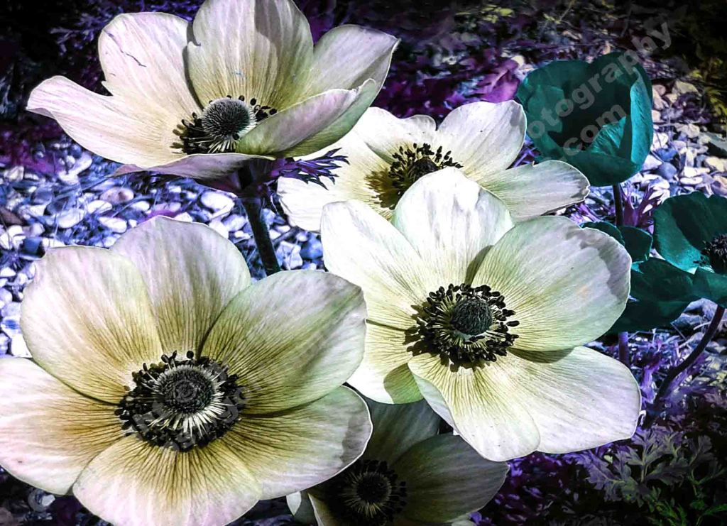 The image depicts a photograph titled Moonlight by the photographer Goff James. The work is an experimental close up colour photo of four white anemones in the moonlight