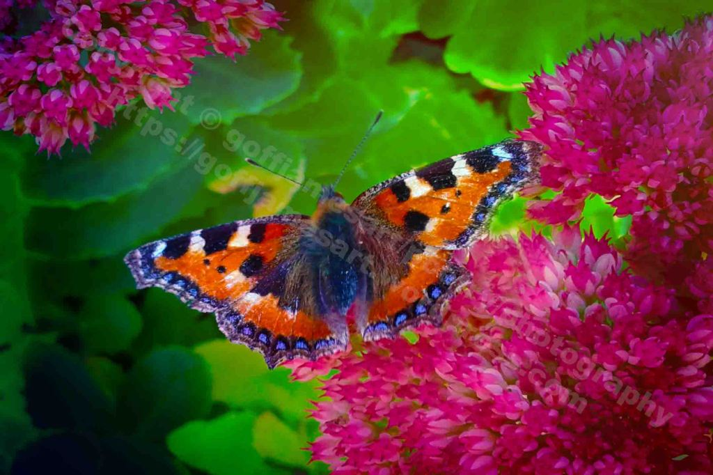 The image depicts a photograph titled Tortoiseshell Butterfly Feeding by the photographer. The work is a colour photo of a tortoiseshell butterfly feeding on a sedum..