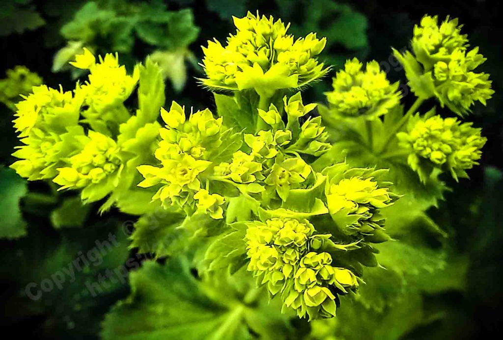 The image depicts a colour photograph titled Belle of the Ball by the photographer Goff James. The work is a colour photo of the opening of the vibrant green fluorescent flower head of an alchemilla mollis.