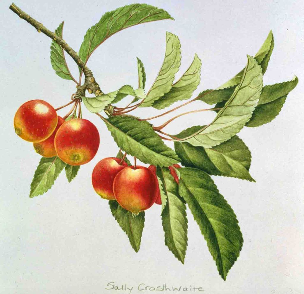 The image depicts a painting titled  Crab Apples by the artist Sally Crosthwaite. The work is a still life painting of a twig with green leaves from which hang five ripe red crab apples. The image supports the poem Crab-Apples written by the poet Imtiaz Dharker.